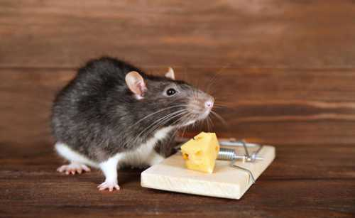 Если удалось поймать мышонка, это сулит приятный подарок или прибыль