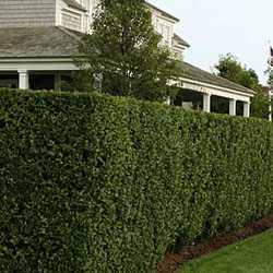 Зеленая изгородь на вашем садовом участке