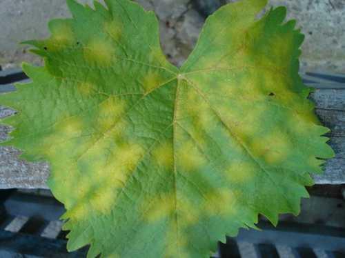 Виноград из черенков фото: выращивание, как