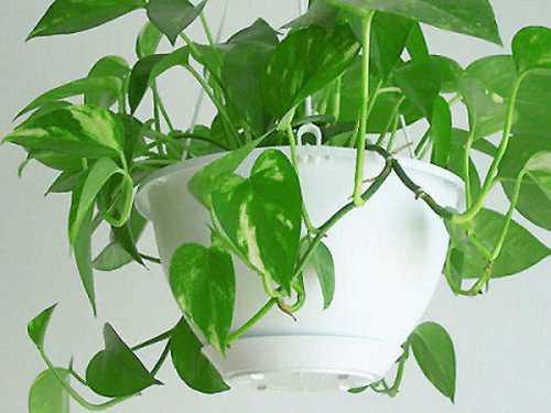 Освежитель воздуха вредит домашним растениям