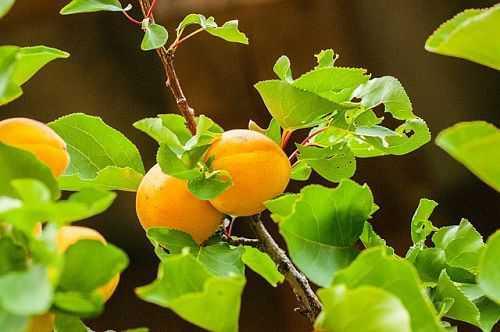 Как  посадить абрикос осенью, преимущества